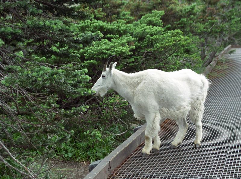 Glacier National Park,I felt like you could go up and pet him but i new better