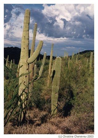 Saguarro Cactus in Arizona