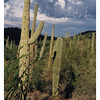 Saguarro Cactus in Arizona