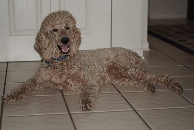 PG Puppies - Sonny - Standard Poodle