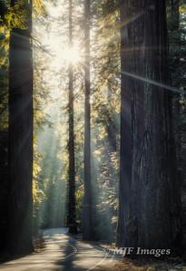 Redwoods Morning Drive
