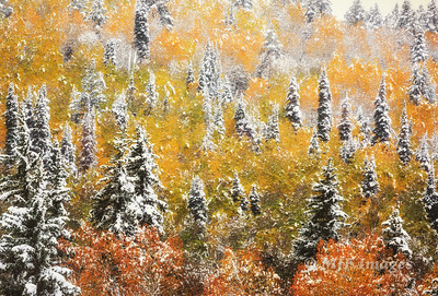 Dusted Aspens