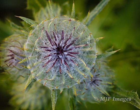 Nascent Bloom
