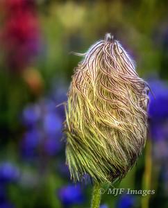 Hairy Pasqueflower