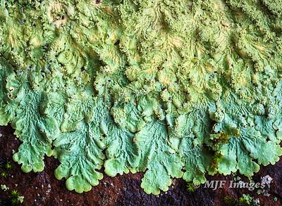 Aqua Lichen