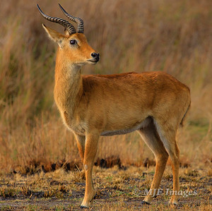 Kafue Impala