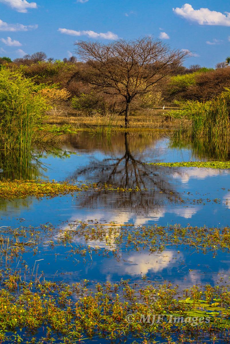 Okavango Tree Reflected