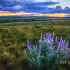 Solitary Lupine