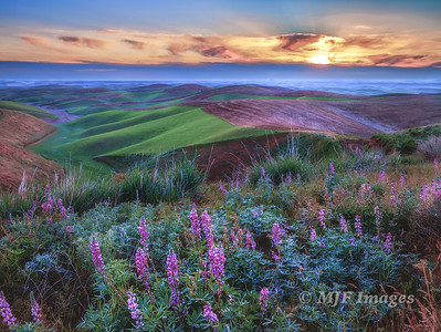 Lupine over the Palouse