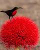 Sunbird on Blood Lily - Vertical