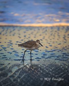 Stalking Sandpiper