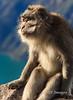 Reflective Macaque
