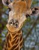 Smiling Giraffe