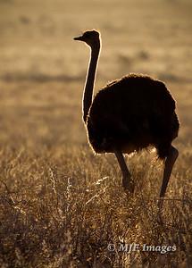Striding Ostrich