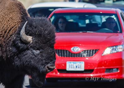 Buffalo ahead!
