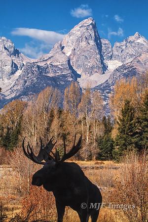 Bull Moose in Silhouette