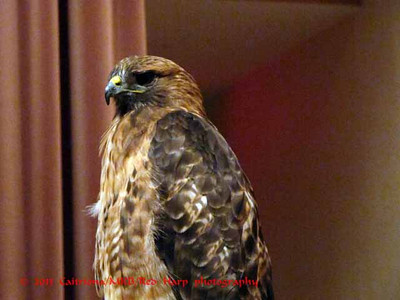 Columbia Gorge Discovery Center, The Dalles, OR Red Tail Hawk