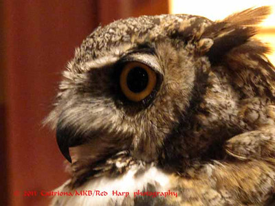 Columbia Gorge Discovery Center, The Dalles, OR Owl