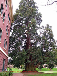 Large tree next to Edens Hall, Western Washington  University, Bellingham