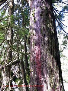 Woodpecker damage to tree trunk