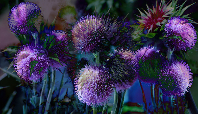 Thistle V, 2010<br /> Photographic Digital Collage