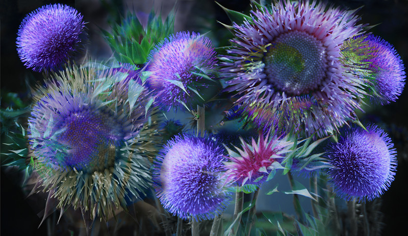 Thistle IV, 2010<br /> Photographic Digital Collage