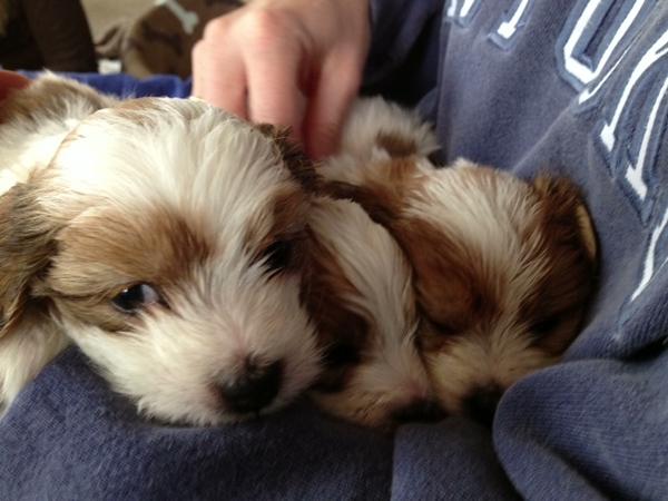 2-3-13 ccc puppy 2