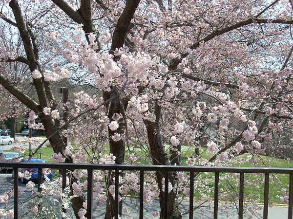 3-26-11 Cherry Tree 003