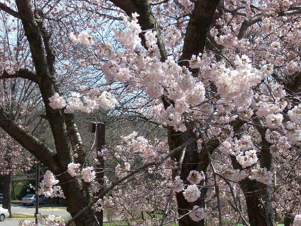 3-26-11 Cherry Tree 001