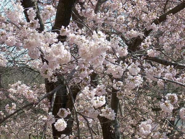 3-26-11 Cherry Tree 004