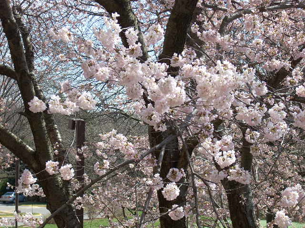 3-26-11 Cherry Tree 002