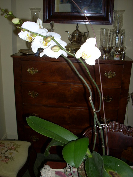 7-11-15 Mothers Day orchid 2014