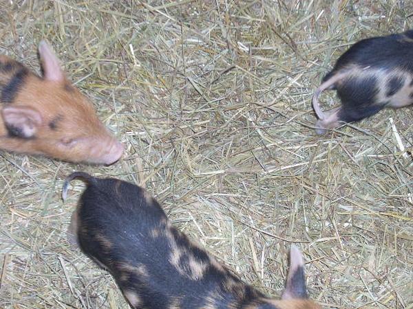 4-7-11 piglets 007