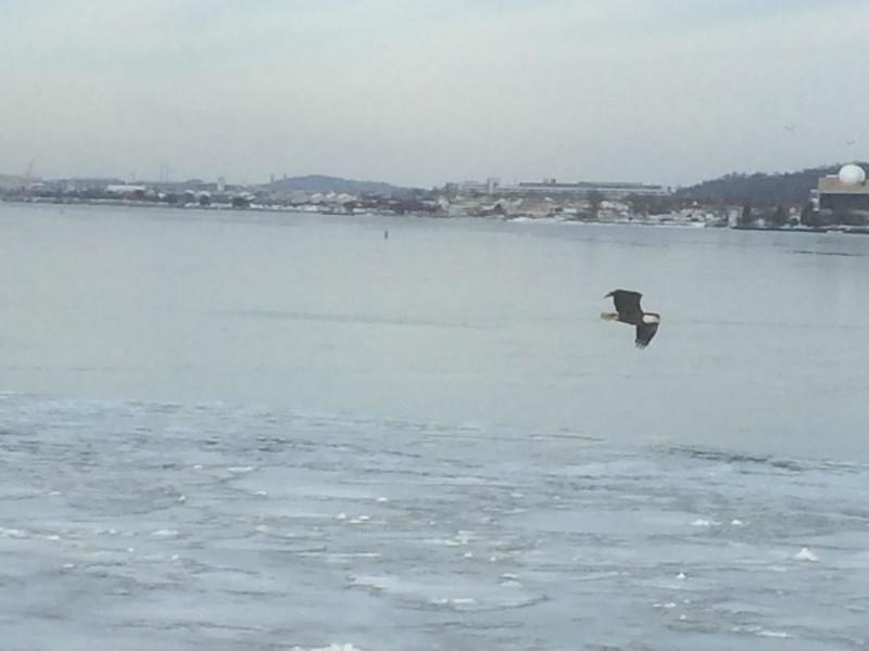 1-28-16 cccoff eagle