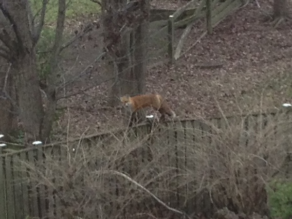 1-1-13 foxes 1