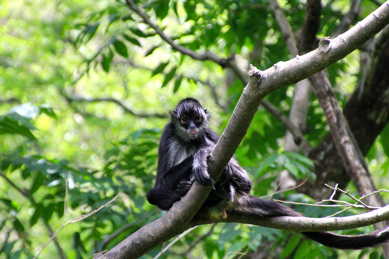 Due to their large size, spider monkeys require large tracts of moist evergreen forests, and prefer undisturbed primary rainforest. - Jay