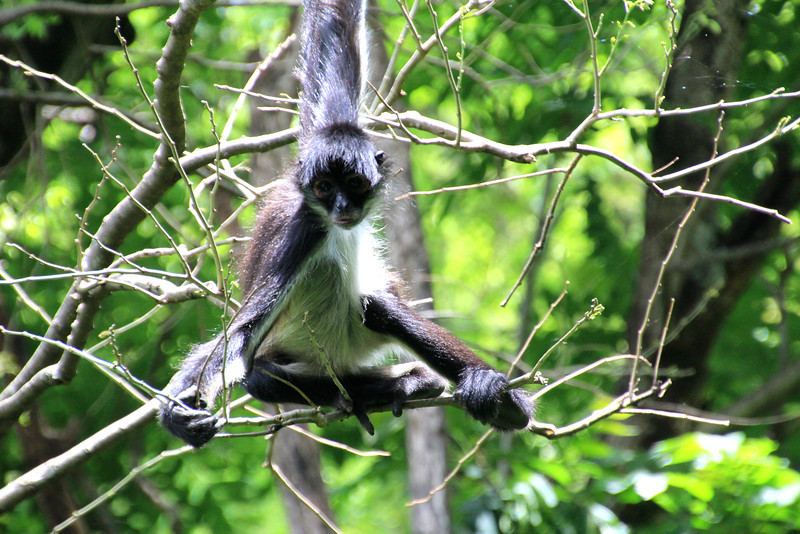 Their disproportionately long limbs and long prehensile tails make them one of the largest monkeys and gives rise to their name. Spider monkeys live in the upper layers of the rainforest, and forage in the high canopy.  They primarily eat fruits, but will also occasionally consume leaves, flowers, and insects. -Jay
