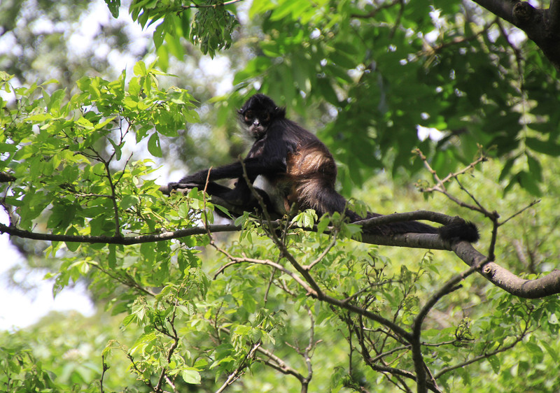 The monos (spider monkeys) that you see in this photo, and the upcoming ones, was the highlight of our visit to the reserve. - Jay