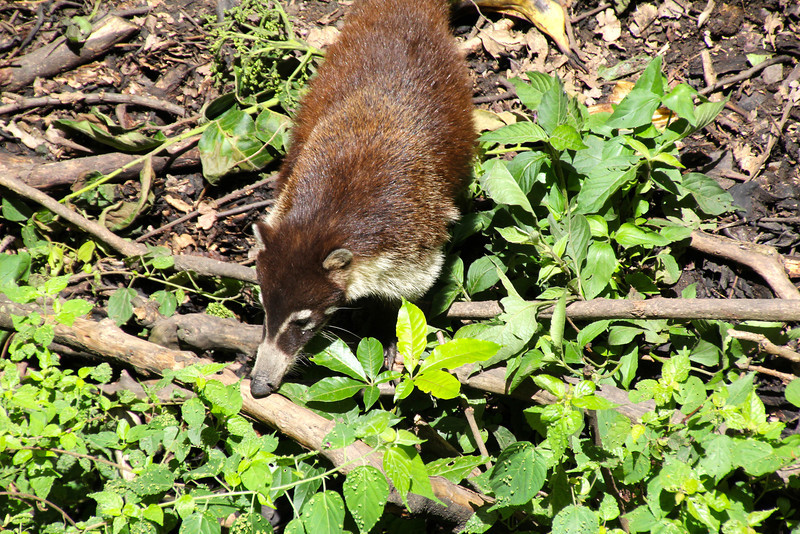 Another animal native to the region is the coati which is a member of the raccoon family. They are found in CA and most of SA.  Like los monos, coatis face a serious threat from environmental destruction and unregulated hunting.- Jay