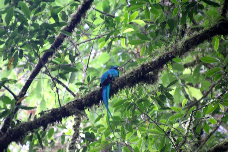 Resplendent Quetzal. - Jay