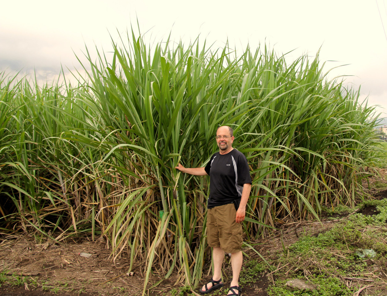 Sugarcane almost ready for harvest. - Jay