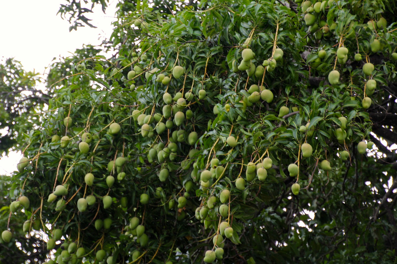 The city center is filled with mango trees like this. Watch out when they become ripe (bombs away). - Jay