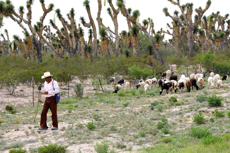The herder would whistle and they followed right along.