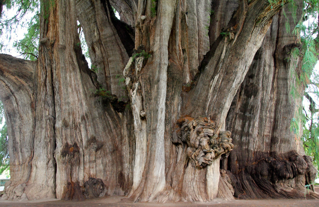 Once again, just show casing the enormous width of this beautiful tree.-Conor