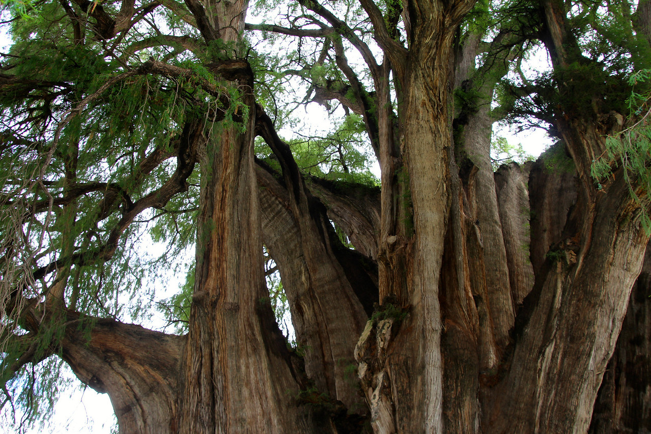 This is a picture of part of the Tula Tree. This tree, the oldest on the planet, is over 2,000 years old and is also the widest. It took us about ten minutes to walk around it and explore all sides of this beast.-Conor