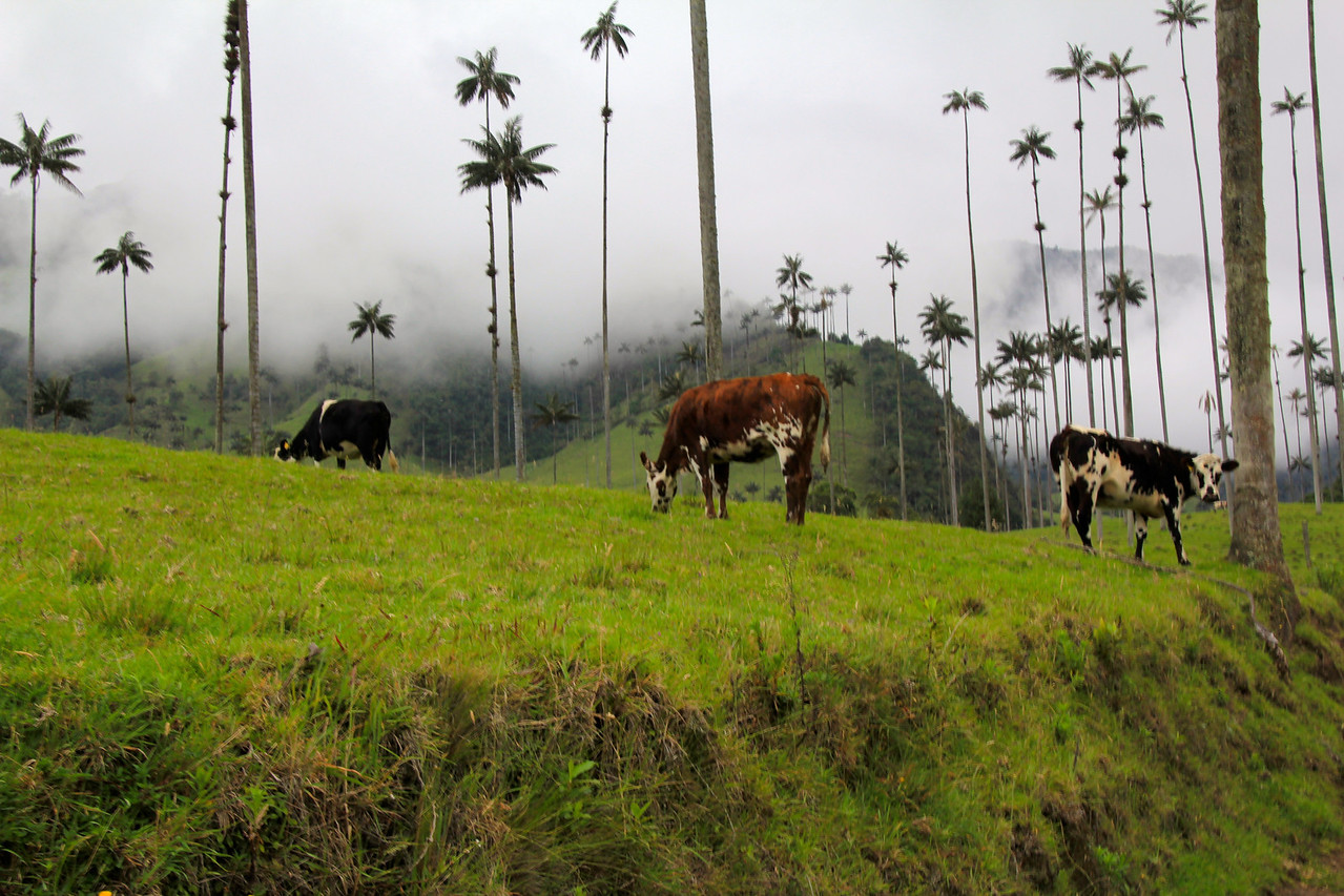 Only six families farm in this portion of the valley. The cows are prize winning and milk quality is considered to be the finest in Colombia. - Jay