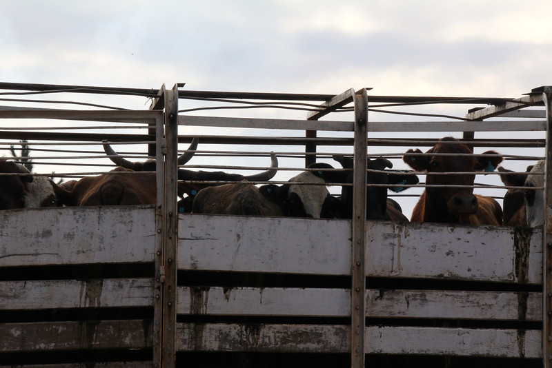 Lunch time was approaching and I figured it was time to get even with some of the cattle in our road. - Jay
