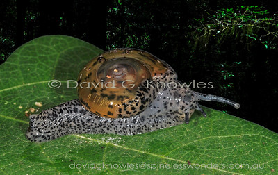 South East Asian Ariophantidae (Black-faced Snails)