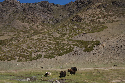 Yaks grazing in the Yolyn  Am.