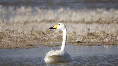 Whooper Swan, Gun-Galuut Nature Reserve.